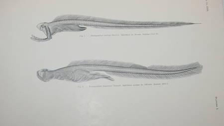 BERTIN (Léon). Formes nouvelles et formes larvaires de poissons apodes appartenant au sous-ordre des lyomères