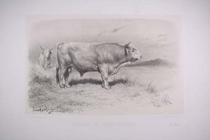 . Taureau de West-Highland