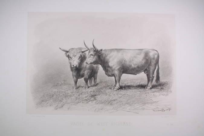 Vache de West-Highland - Riffaut, Rosa Bonheur et Nadar jeune - 1862 - Photo 0 - estampe