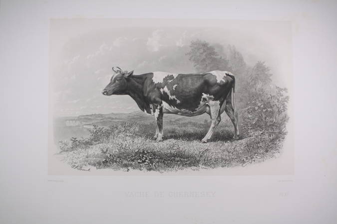 . Vache de Guernesey, gravure du XIXe siècle