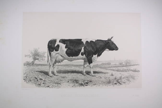 . Vache hollandaise