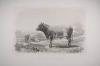 Taureau de Durham - Riffaut, Emile Van Marcke - 1862 - Photo 0, gravure du XIXe siècle