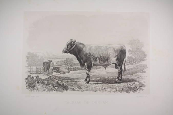 . Taureau de Durham, gravure du XIXe siècle